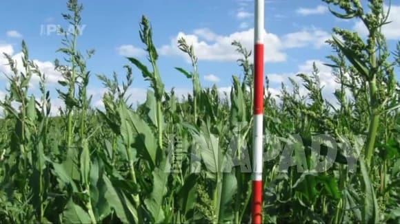 Pěstování a využití šťovíku