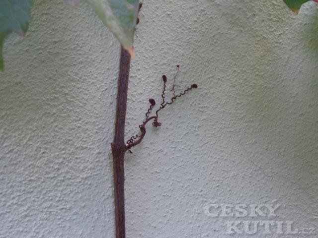 Rostliny přísavné