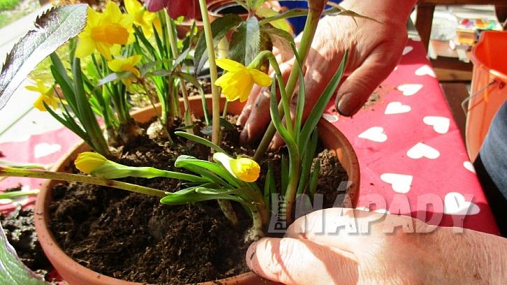 Jarní minizahrádka: zasaďte nakvetlé cibule narcisů