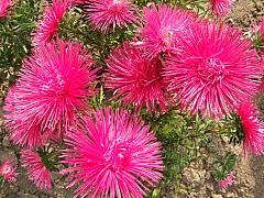 Vypěstujte si vlastní astry a dodejte zahradě barvu
