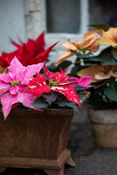 Nejširší škála barev a tvarů vánoční hvězdy bývá k dostání na začátku sezóny v průběhu října