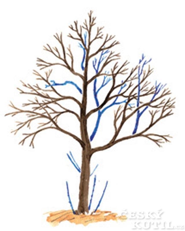 Udržovací řez opadavého stromu