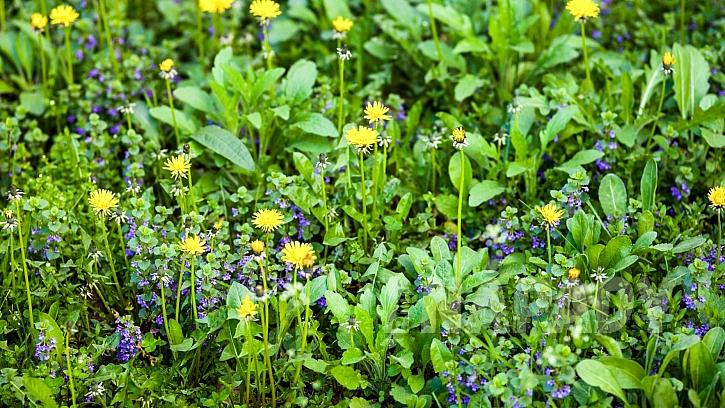 Popenec obecný (Glechoma hederacea) u nás roste takřka všude