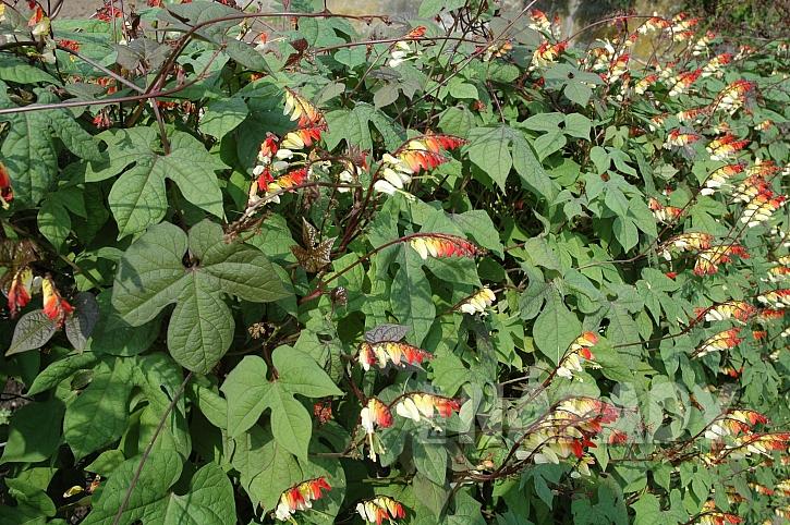 Mina je u nás poměrně málo známá popínavá rostlina (Zdroj: Ludmila Dušková)
