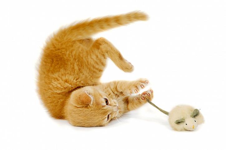 Kočka s hračkou