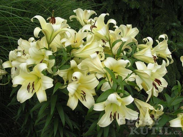 Lilie - hybridy