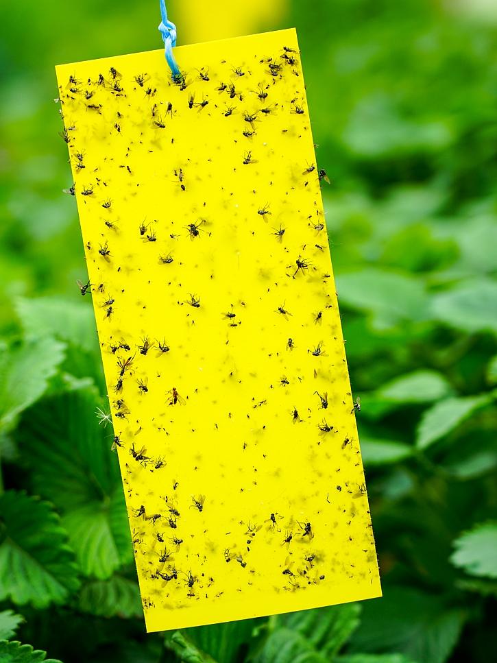 Žlutý lapač