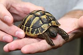 Želvičky jako domácí mazlíčci: V zimě je nechte spát