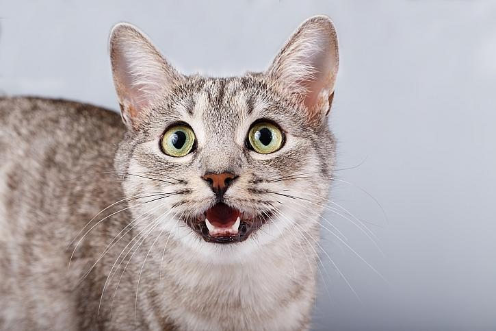 Kočka cení zuby