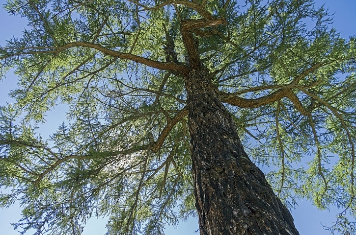 Modřín strom víl