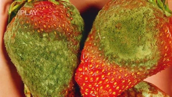 Jak ochránit úrodu jahod před plísní