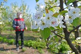 Bez postřiků ovocných stromů se neobejdeme