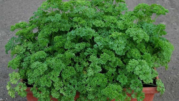 Petržel zahradní naťová: odrůda KADEŘAVÁ se dá dobře pěstovat v nádobách