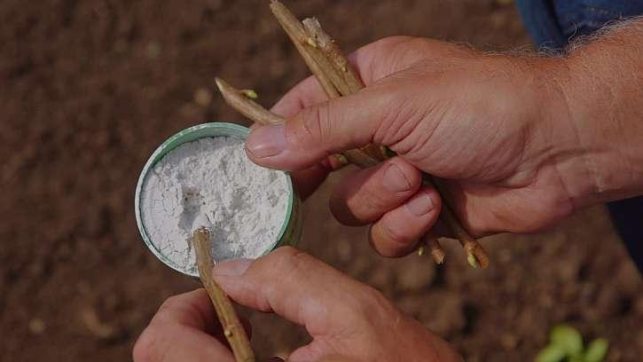 Stimulátor pomůže k lepšímu zakořenění a vyrašení nové rostliny