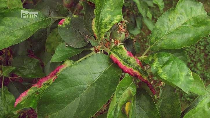 Kroucení listů mají na svědomí mšice