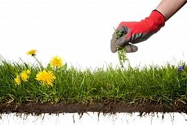 Plevele v trávníku - nenáviděné i užitečné