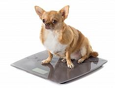 Jak nejlépe krmit pejska, který má kila navíc? Nadváha trápí až 50 % psů!