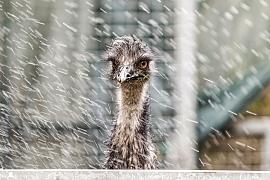 Přání pro šťastný život emu Amu