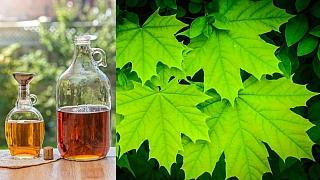 Javor cukrový: Javorový sirup z vlastní zahrady