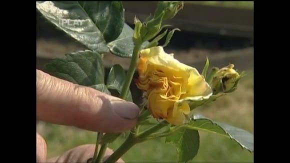 Jak chránit růže proti chorobám a škůdcům