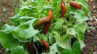 Co dělá mírná zima se zahradou? Připravte se na invazi slimáků!