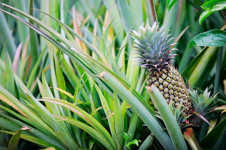 Ananas chocholatý je rostlina z čeledi bromeliovitých (Zdroj: Depositphotos)