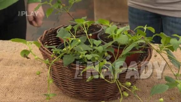 Pěstování a konzumace Lípie sladké