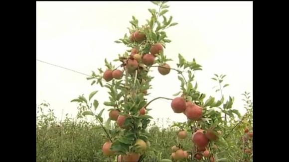 Nové odrůdy jablek