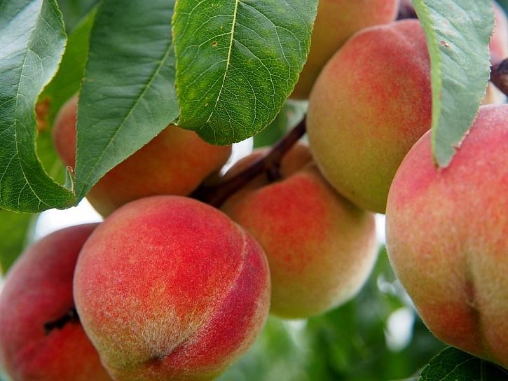 Základem dobré úrody je péče o rostliny a stromy