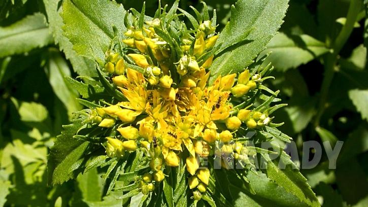 Rozchodnice růžová s drobnými žlutými kvítky