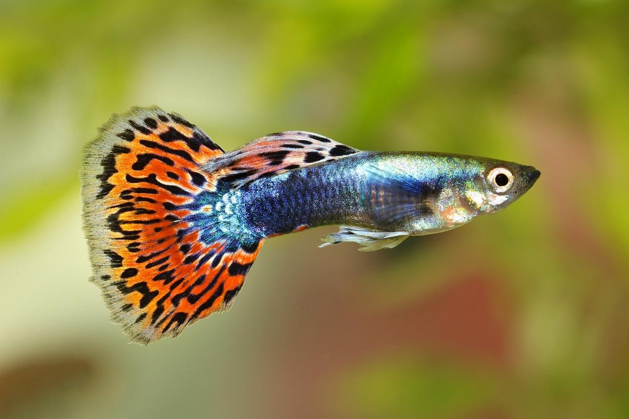 Akvarijní rybičky: Druhy vhodné pro začínající chovatele