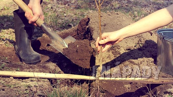 Jak sázet ovocné stromy: usaďte stromek do jámy a zasypejte zeminou