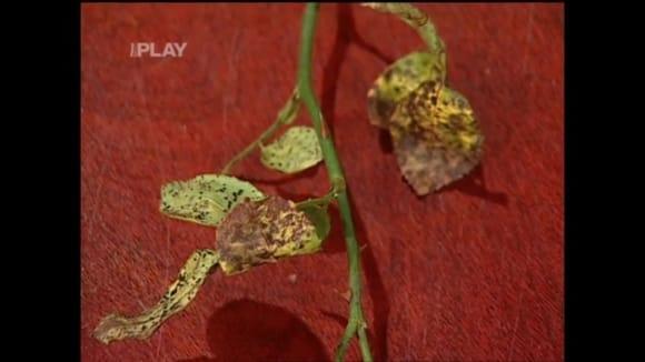 Houbové onemocnění rostlin - rez hrušňová