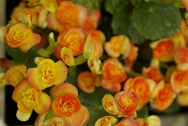 Begonia elatior oranžová
