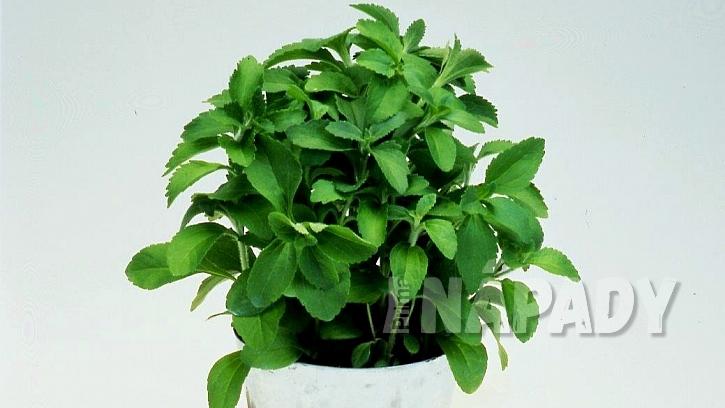 Stévie sladká (Stevia rebaudiana) se dá pěstovat doma na parapetu v květináči