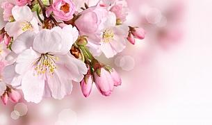 Keře s růžovými květy jsou ozdobou každé zahrady