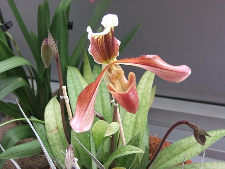 Orchidej miltonia a paphiopedilum