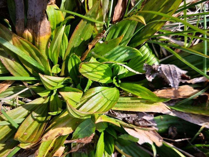 Listy jitrocele kopinatého slouží i k výrobě mastí