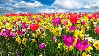 Je čas na cibulky krokusů, narcisů, hyacintů aneb Květy, bez nichž jaro není