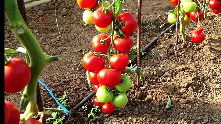 Jak vysévat netradiční odrůdy rajčat