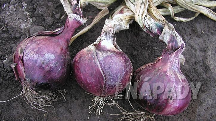 Pěstování cibule: poloraná, karmínově červená až fialová odrůda Karmen