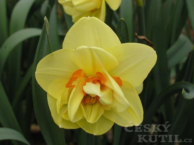 Narcis - hybridy