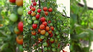 Péče o mladé sazenice rajčat