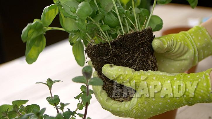Jak šikovně označit květináče jménem byliny: byliny přesaďte z plastového do hliněného květináče