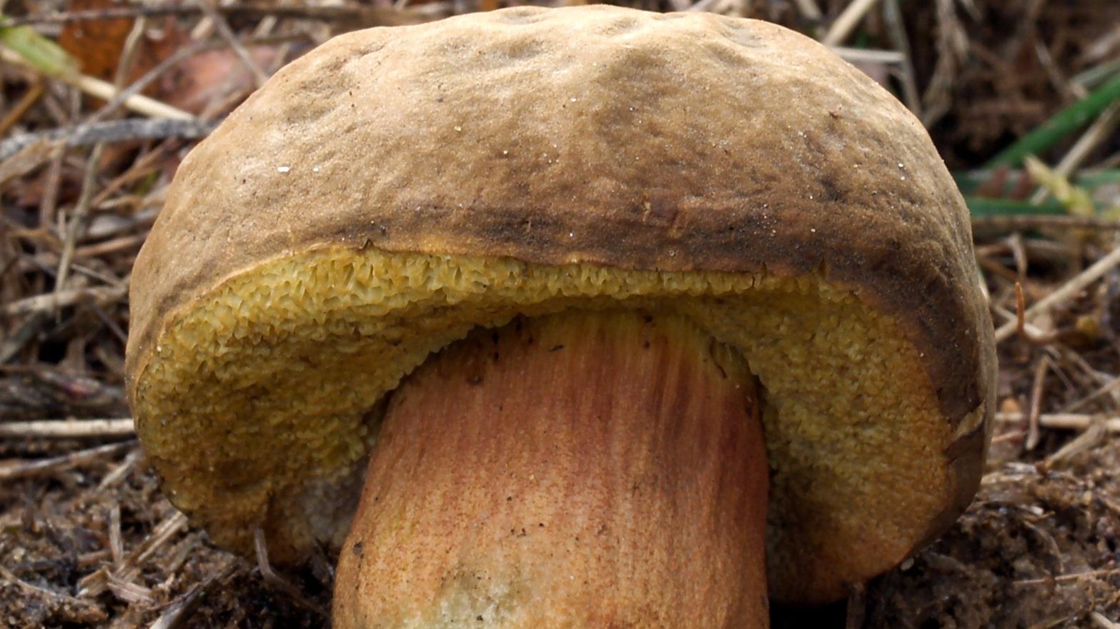 Představujeme dvě méně známé houby: Pozoruhodný hřib Engelův a nenápadný hřib peprný