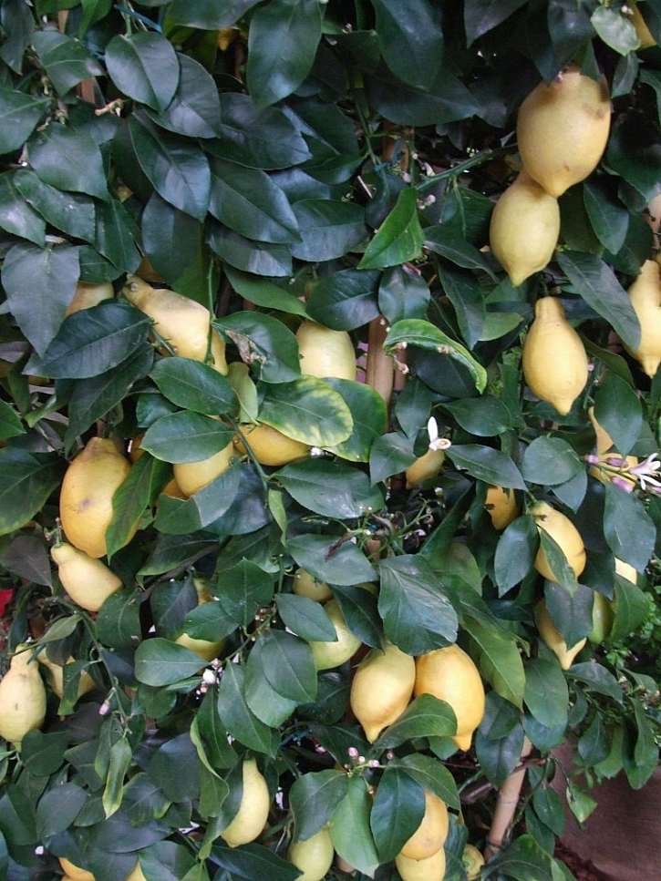 Citrony lze uskladnit v soli v kameninovém hrnci