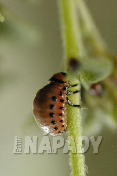 Žravá larva mandelinky