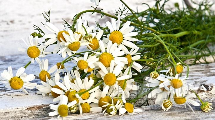 Heřmánek pravý (Matricaria chamomilla) má zklidňující účinky, učiněné blaho je uvolňující heřmánková koupel
