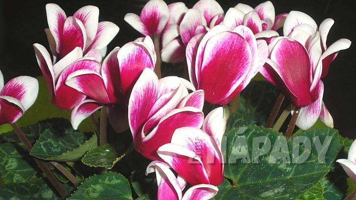 Nejkrásnější vánoční květiny: brambořík (Cyclamen)