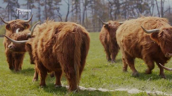 Chov krav highlander